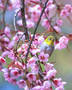 Cute bird sitting on blossom tree branch chiang mai province thailand Royalty Free Stock Image