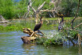 Cute birds pair communicating cormorants perched on dry tree branches in smooth lake water Royalty Free Stock Photos