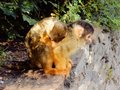 Cute black-capped squirrel monkey with sleeping baby on her back