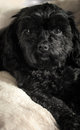 Cute black dog cavalier king charles poodle cross sitting on a cream fur blanket Royalty Free Stock Photo