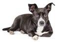 Cute black dog looking at camera Royalty Free Stock Photo