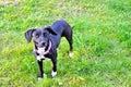 Cute black pedigree dog on the grass Stock Photos