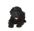 Cute Black Russian Terrier Puppy Dog Royalty Free Stock Photo