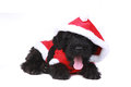 Cute Black Russian Terrier Puppy Dog Royalty Free Stock Photos