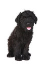 Cute Black Russian Terrier Puppy Dog Royalty Free Stock Images