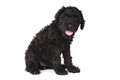 Cute Black Russian Terrier Puppy Dog Stock Image