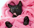 Cute black soggy cat licking after a bath funny little demon drying off with towel Stock Photos