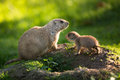 Cute black tailed prairie dog with a youngster cynomys ludovicianus Royalty Free Stock Photo