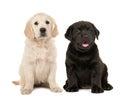 Cute blond golden retriever and black labrador retriever puppy Royalty Free Stock Photo