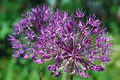 Cute blooming purple allium flower close up Royalty Free Stock Photo