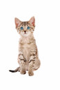 Cute blue eyed tabby kitten adorable sitting on white Stock Photography