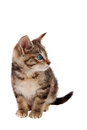 Cute blue eyed tabby kitten striped with eyes on white background Royalty Free Stock Photo