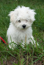 Cute Bolognese puppy Royalty Free Stock Photo