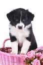 Cute border collie puppy in a basket pink isolated Royalty Free Stock Photography