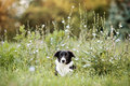 Cute border collie puppy summer landscape mounths Stock Photo