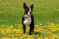 Cute boston terrier out in a field of flowers Stock Photos