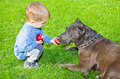 Cute boy regales to a dog apple sitting on the lawn Stock Photos