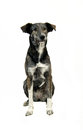 Cute brindled mongrel multicolor she dog is making sit Stock Photos