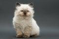 Cute british kitten Royalty Free Stock Photo