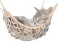 Cute british shorthair tabby kitten sleeping in hammock Royalty Free Stock Photo