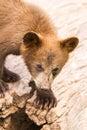 Cute brown bear cub Royalty Free Stock Photo