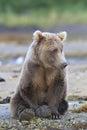 Cute brown bear resting by stream