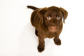 Cute chocolate brown labrador puppy dog on a grey pillow