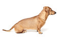 Cute brown dachshund dog isolated on white background Stock Images