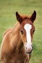 Cute brown foal portrait Royalty Free Stock Photo