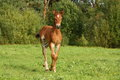Cute brown foal portrait in summer Royalty Free Stock Photo