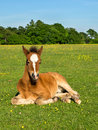 Cute brown foal young horse pony sitting upright in green field Stock Images