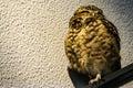 A cute brown owl.