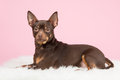 Cute brown pincher dog lying down on a pink background Royalty Free Stock Photos