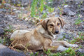 Cute brown stray dog Royalty Free Stock Photo