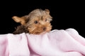 Cute brown yorkshire terrier in a bed of pink blanket against bl black background Royalty Free Stock Photo