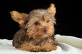 Cute brown yorkshire terrier in a bed of white blanket against b black background Royalty Free Stock Images