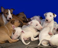 Cute bull terrier puppies white and brown laying on the blanket Stock Images