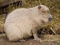 Cute capybara rodent Royalty Free Stock Image