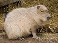 Cute capybara rodent Royalty Free Stock Image