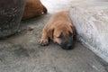 Cute carolina dog portrait of sweet little Royalty Free Stock Image