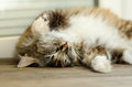 A cute cat lies on her back and sleeps. With yellow eyes and a thick mustache. Close up. Royalty Free Stock Photo