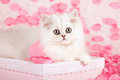 Cute cat and pink petals Royalty Free Stock Photo