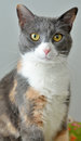 Cute cat portrait adorable multi colored with gray top to its head and white nose and chin Stock Photos