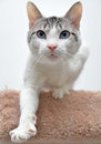 Cute cat reaching towards viewer adorable calico on carpeted perch out with one paw Stock Images