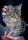 Cute cat sitting in her owner s hands Royalty Free Stock Photo
