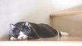 Cute cat sleeping on wooden stairs, Scottish fold ears unfold gray and white color. Royalty Free Stock Photo