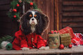 Cute cavalier king charles spaniel dog in red coat celebrating christmas at cozy country house Royalty Free Stock Photo