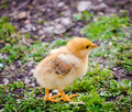 Cute chick Royalty Free Stock Photo