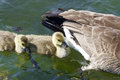 Cute chicks of the Canada geese are swimming after their mom Royalty Free Stock Photo