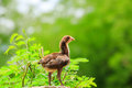 Cute chicks on green background Royalty Free Stock Photography